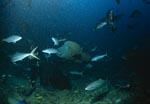Taucher beobachtet vorbeischwimmenden Napoleon-Lippfisch