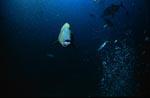 Napoleon-Lippfisch frontal anschwimmend