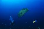 Napoleon-Lippfisch schwimmt unbemerkt auf einen Taucher zu