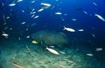 Riesenzackenbarsch am Shark Reef