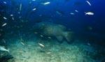 Riesenzackenbarsch dicht ueber dem Meeresboden