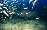 Riesenzackenbarsch im Fischschwarm