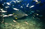 Riesenzackenbarsch inmitten eines Fischschwarms