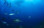 Giant Trevally, andere Fische und Taucher