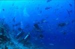 Taucher beobachten Fische am Shark Reef