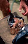 Fischköpfe werden mit akustischen Sendern ausgerüstet