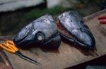 Fischköpfe in die Sender eingebaut werden