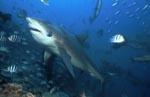 Bullenhai, Gemeiner Grundhai oder Stierhai (00018166)