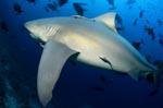 Mächtiger Bullenhai am Riff