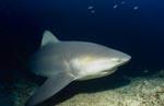 Bullenhai auf Erkundung am Riff
