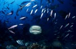 Bullenhai kommt frontal näher