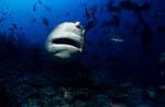 Bullenhai frontal