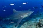 Bullenhai kommt aus blauer Tiefe