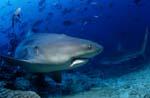 Abdrehender Bullenhai