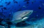 Ausducksstarker Bullenhai
