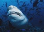 Bullenhai zeigt seine Zähne