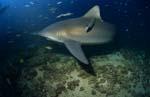 Bullenhai patrouilliert am Riff