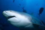 Interessierter Bullenhai