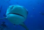 Bullenhai kommt frontal auf mich zu