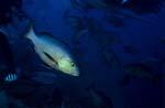 Doppelfleck-Schnapper am Shark Reef