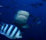Frontal anschwimmenderTigerhai