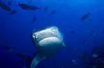 Tigerhai (Galeocerdo cuvier) naehert sich frontal)