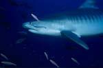 Tigerhai gleitet durch das blaue Wasser