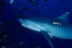 Tigerhai (Galeocerdo cuvier) im dunklen Wasser