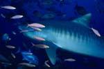 Tigerhai (Galeocerdo cuvier) und Korallenfische
