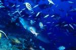 Großer Tigerhai im Korallenriff