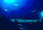 Tigerhai (Galeocerdo cuvier) an der Riffkante