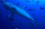 ImposanterTigerhai (Galeocerdo cuvier)
