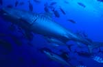 Eindrucksvoller Tigerhai (Galeocerdo cuvier)