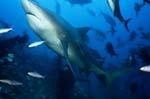 Bullenhai schwimmt nach oben
