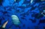 Bullenhai in Fischansammlung