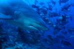 Bullenhai Porträt von der Seite