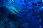 Charakterkopf Bullenhai