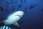 Bullenhai Unterseite