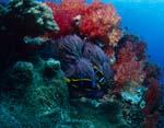 Weichkorallen im Korallenriff