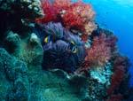 Bunte Weichkorallen und Anemonenfische