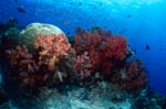 Eye catcher Weichkoralle im Riff