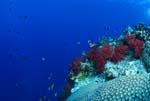Bunte Weichkorallen an einem Korallenturm
