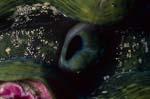 Moerdermuschel (Tridacna)