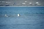 Beluga an der Meeresoberfläche