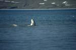 Beluga durchbricht die Wasseroberfläche