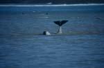 Beluga mit eindrucksvoller Schwanzflosse