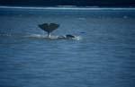 Auffallende Beluga Schwanzflosse ragt aus dem Wasser