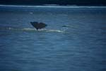 Beluga taucht ab