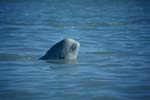Junger Beluga schaut aus dem Wasser