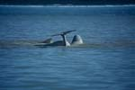 Belugas im arktischen Meer